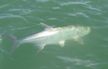 tarpon coming to gaff